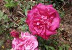 Cara Pemeliharaan Bunga Mawar Garutan
