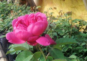 Inilah Khasiat Dari Tanaman Bunga Mawar